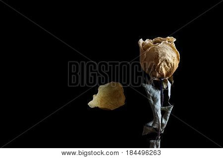 dried white rose with petal falling on black background dark tone