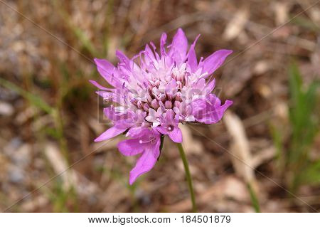 Pink Scabiosa Pincushion Flowers growing in South Australian bushland along a bush walking track