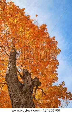 Upward view of a large maple tree with bright orange and yellow autumn leaves against blue sky