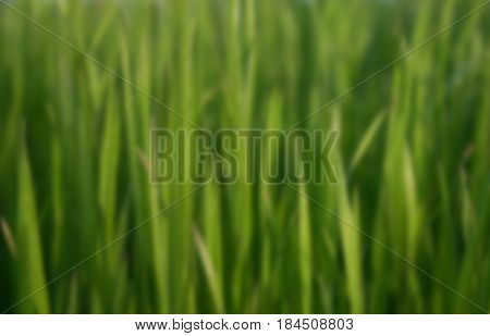 Background blurred vertical oblong juicy spring grass