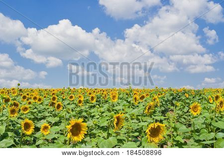 Rows of soldiers of sunflower revolution against blue cloudy sky.