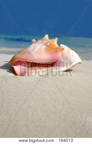 Beach Conch Series