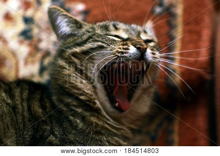 A cute funny cat yawns because he wants to sleep
