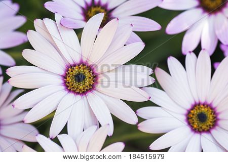 Close up of white osteospermums with lilac and yellow in the middle in the garden selective focus
