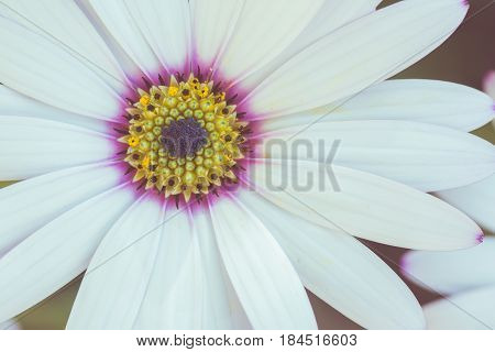 Toned photo of white osteospermum with lilac and yellow in the middle in the garden macro selective focus