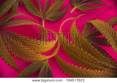 Abstract cannabis leaves pattern over pink background - medical marijuana concept