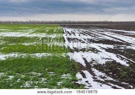 Spring agricultural landscape with winter crops in central Ukraine