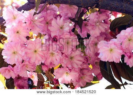 Sakura Flowers Background art Design. Spring Sakura Blossom. Blossoming cherry orchards