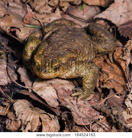 Common or European toad Bufo bufo in early spring close-up portrait on dry leaves selective focus shallow DOF.