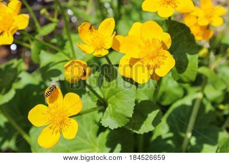 Caltha, Yellow Flower With Bee, Close Up Photo