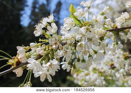 White Tree Bloom With Blue Sky On Background