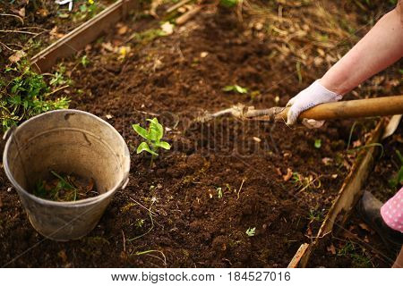 spring seedbed with iron bin and hand with shovel plant sprouts close up photo