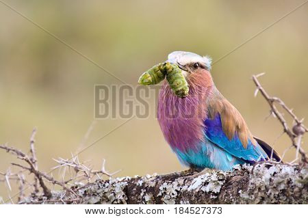 A lilac-breasted roller (Coracias caudata) holds a captured caterpillar in its beak. Ol Pejeta Conservancy Kenya.