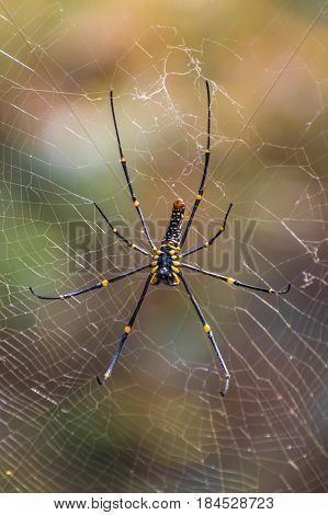 Black and yellow poisonous tropical spider in jungle