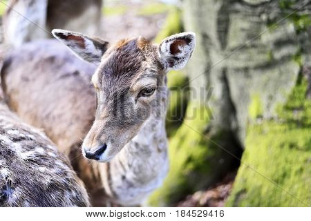 Close up shot of a wild deer, female whitetail deer in a forest. Animal head, mule deer.