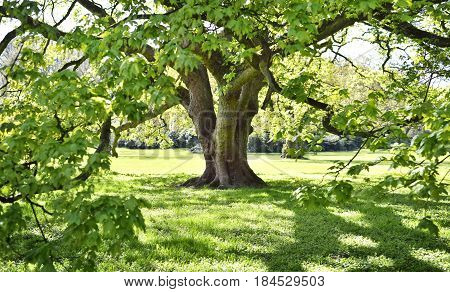Beautiful old tree on a green meadow or park. Maple tree with hug he branches, full frame shot, summer scene.