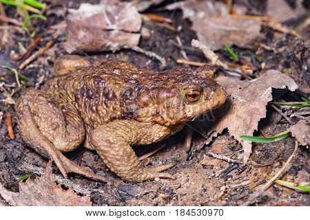 Common or European toad Bufo bufo in early spring close-up portrait on ground selective focus shallow DOF.