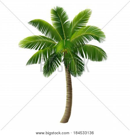 A palm tree (a coconut tree) isolated on white background. Vector illustration.