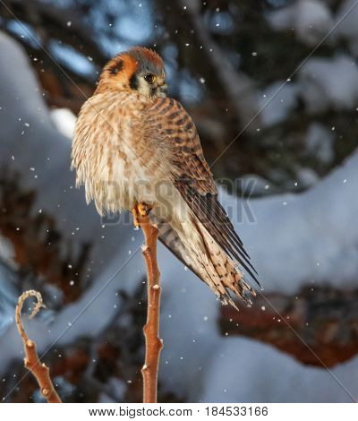 a kestrel hunting in the snow on top of a branch