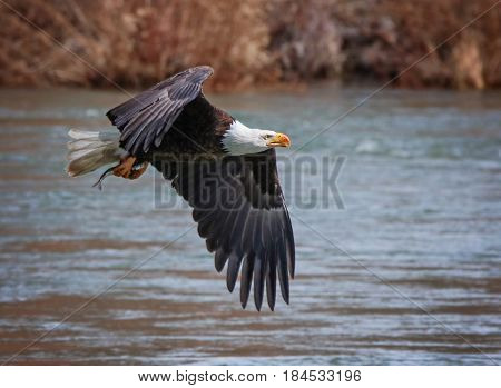 an eagle flying off with a fish