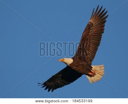 an eagle flying around looking for food