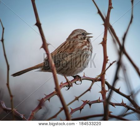 a song sparrow singing on a foggy day at the top of its lungs with an instagram filter