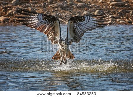 an osprey diving for a fish