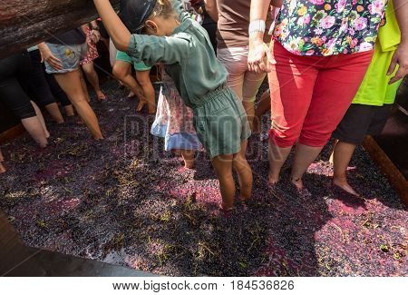 ESTREITO DE CAMARA DE LOBOS PORTUGAL - SEPTEMBER 10 2016: Grapes are crushed in the traditional way during the Madeira Wine Festival in in Estreito de Camara de Lobos Madeira Portugal.