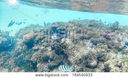 Fish-surgical Akantnuridae, Seabreams And Swim Around A Bright C