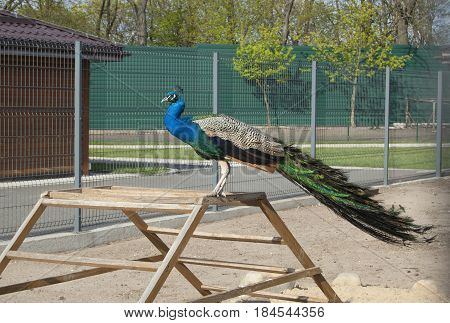 Peacock  at the backyard, poultry yard, sunny day