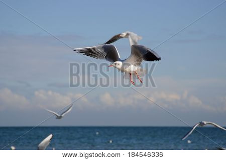 Seagulls flying at the sea in Omaha Beach France.