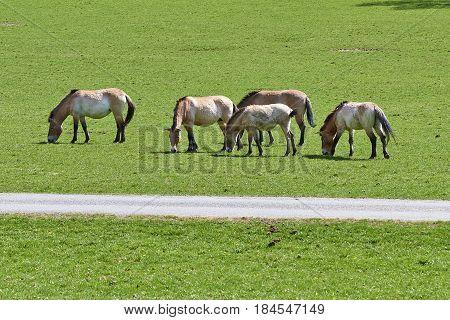 Przewalski Horses Eating