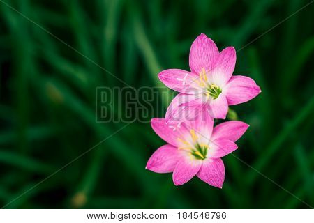 Rain Lily flower. Zephyranthes Lily Fairy Lily Little Witches.