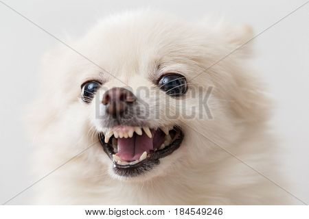 Angry white pomeranian