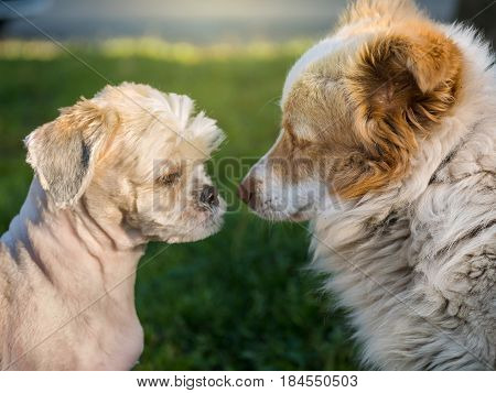 Two dog face each other in a field negociation concept