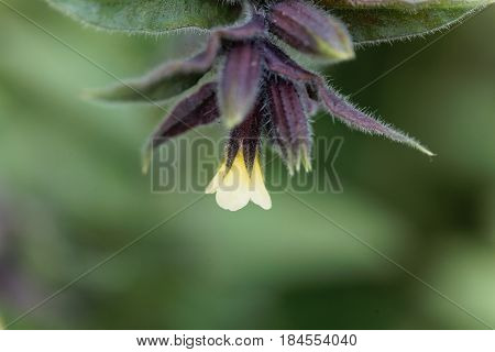 Flower of the Yellow monkswort (Nonea lutea)