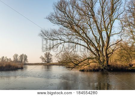 Bare tree with irregular branches at the edge of the water in a Dutch nature reserve. It is a the end of the winter season. A thin layer of ice is on the water sureface.
