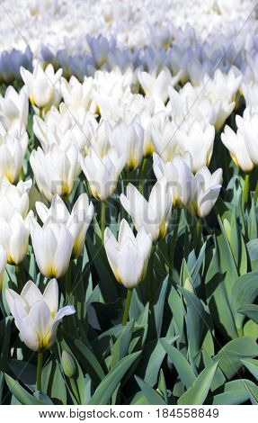 White tulips. Beautiful white tulips flowerbed closeup. Flower background.