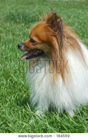 Pomeranian Profile