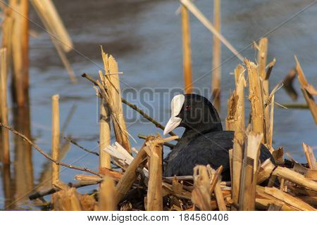 Fulica In The Reeds