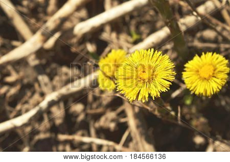 Yellow flowers of coltsfoot. (Tussilago farfara).Medicinal plant.