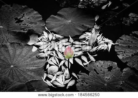 beautiful color lotus flower among falling leaves on water in white tone