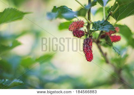 Black Ripe Mulberry, Fresh Mulberry Fruit On Tree