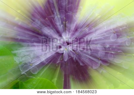Abstract star blur with zooming effect of lilac flowers for themes of uniqueness meditation individuality or state of mind