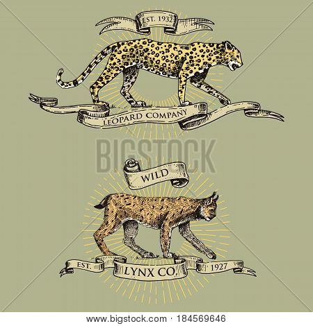 leopard and lynx logos, emblems or badges with wild animals and banners or ribbons in vintage, retro old style, hand drawn engraving. sketch bob cat