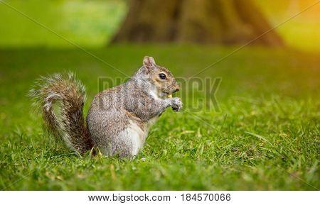 Grey squirrel, Sciurus Carolinensis, eating some nuts on grass.