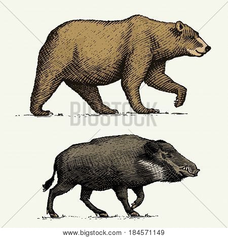 wild Bear grizzly and boar or pig engraved hand drawn in old sketch style, vintage animals.