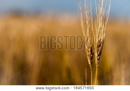 Spikes of wheat in golden field of cereals
