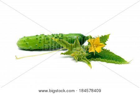 Fresh cucumber isolated on white background. Horizontal photo.