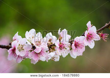 Flowers Of Almond Tree In Detail